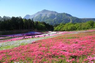 羊山公園 芝桜の丘と武甲山の写真素材 [FYI01750990]