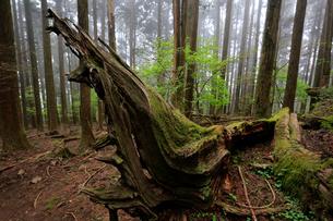 倒れた大木の写真素材 [FYI01751135]