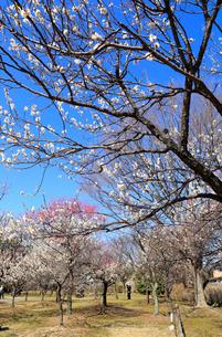 大宮第二公園の梅林の写真素材 [FYI01751210]