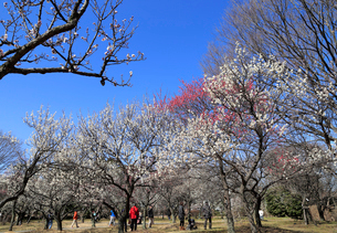 大宮第二公園の梅林の写真素材 [FYI01751252]