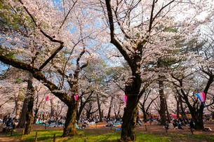 桜咲く春の大宮公園の写真素材 [FYI01751412]