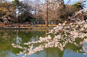 桜咲く春の大宮公園の写真素材 [FYI01751518]
