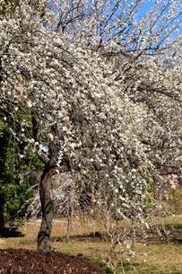 大宮第二公園の梅林の写真素材 [FYI01751564]