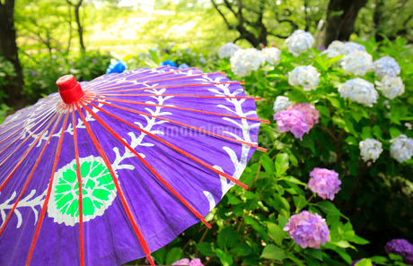 アジサイと和傘の写真素材 [FYI01751706]