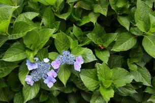 梅雨イメージ 緑の葉に囲まれたガクアジサイの写真素材 [FYI01751865]