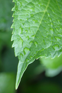 梅雨イメージ 雨に濡れる緑の葉の写真素材 [FYI01751877]