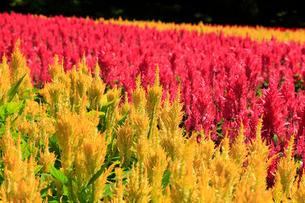ケイトウの花畑の写真素材 [FYI01751884]