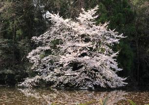 石神井公園の桜の写真素材 [FYI01752002]
