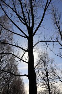 木のシルエットの写真素材 [FYI01752048]