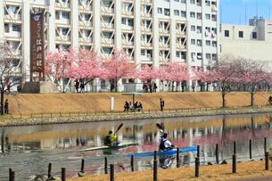 旧中川沿いの河津桜並木の写真素材 [FYI01752063]