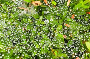 クモの巣についた水滴の写真素材 [FYI01752083]