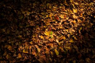 落葉の中の新芽 生命の力強さイメージの写真素材 [FYI01752116]