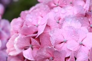 梅雨イメージ 雨に濡れたピンク色のアジサイの写真素材 [FYI01752158]