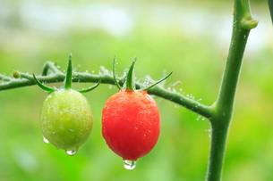 赤色と緑色のミニトマトの写真素材 [FYI01752231]