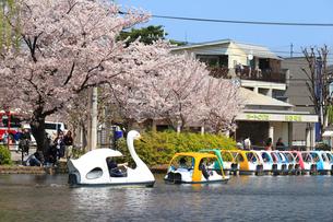 桜咲く春の石神井公園の写真素材 [FYI01752265]