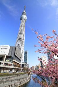 東京スカイツリーと河津桜の写真素材 [FYI01752276]