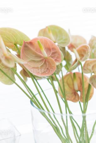 ガラスの花瓶に活けたアンスリュームの写真素材 [FYI01752298]