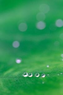 里芋の葉の雫の写真素材 [FYI01752311]