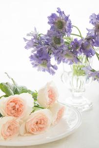 薄ピンクのバラと紫のスカビオサの写真素材 [FYI01752322]