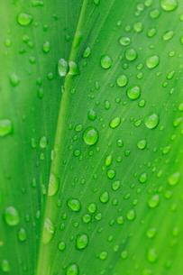 カンナの葉の雫の写真素材 [FYI01752373]