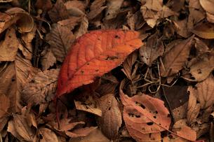 紅葉の落葉の写真素材 [FYI01752389]
