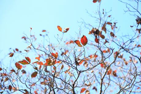 散り際の紅葉の写真素材 [FYI01752413]