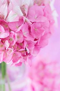 ピンクのアジサイの写真素材 [FYI01752463]
