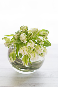 グリーンと白のチューリップの花束の写真素材 [FYI01752487]