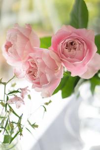 3輪のピンクのバラの写真素材 [FYI01752545]
