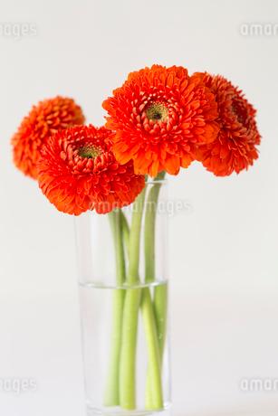 4輪のオレンジのガーベラの写真素材 [FYI01752558]