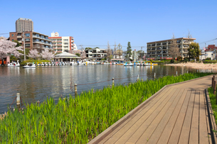 春の石神井公園の写真素材 [FYI01752587]