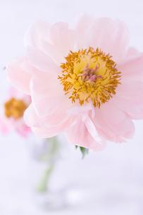 2輪のピンクの芍薬の写真素材 [FYI01752633]