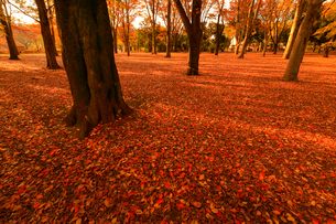 赤い紅葉の落葉の写真素材 [FYI01752812]
