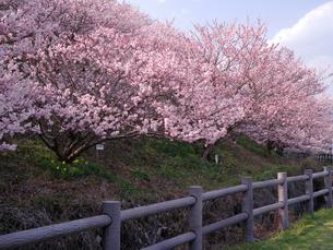 南足柄市の春めき桜の写真素材 [FYI01752821]