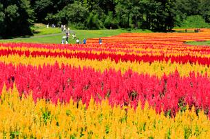 国営武蔵丘陵森林公園 ケイトウの花畑の写真素材 [FYI01752849]