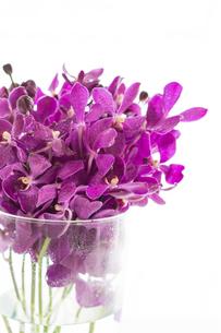 紫のモカラの写真素材 [FYI01752860]