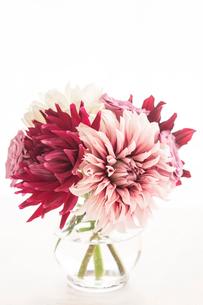 白と赤のダリアの写真素材 [FYI01752896]