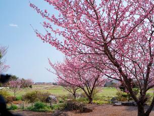 南足柄市の春めき桜の写真素材 [FYI01752980]