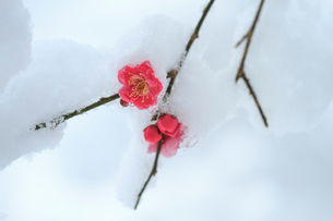 雪と紅梅の写真素材 [FYI01753564]
