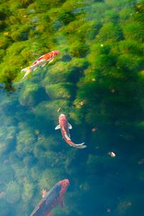 池の錦鯉の写真素材 [FYI01753717]