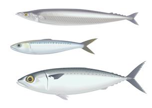 青魚三種 サンマとイワシとサバのイラスト素材 [FYI01753762]