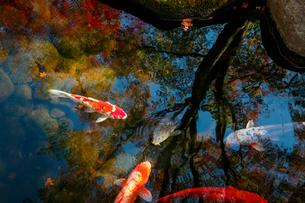 池の錦鯉の写真素材 [FYI01753883]