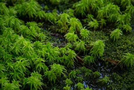 水辺のミズゴケの写真素材 [FYI01754213]