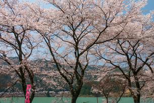 八坂湖畔桜の写真素材 [FYI01754223]