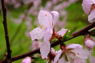 日本の代表的な花の梅の花の写真素材 [FYI01754276]