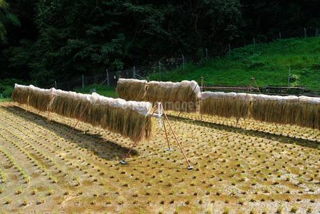 広島県北のハデ干しの写真素材 [FYI01754312]