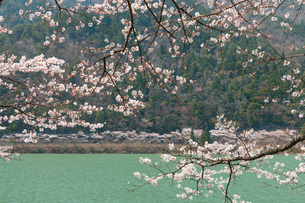 八坂湖畔桜の写真素材 [FYI01754352]