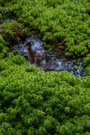 水辺のミズゴケの写真素材 [FYI01754361]