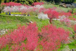 日本の代表的な花の梅の花の写真素材 [FYI01754436]