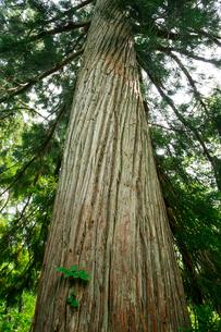 高場森の桃洞杉の写真素材 [FYI01754451]